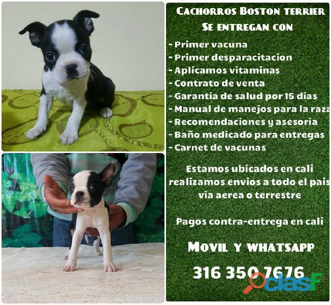 Preciosos cachorros raza Boston terrier finos
